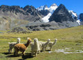 Furry llamas and alpacas on green meadow in Andes snow caped mountains
