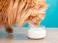 Furry red cat drinking milk on a background of blue wall Stock Photos