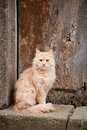 Furry red cat a in front of old wooden door Stock Images