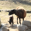 Furry sheep brown with black head and young lamb standing on ground Stock Images