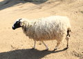 Furry sheep white with black head standing on ground Royalty Free Stock Images