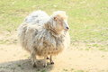 Furry sheep white standing on ground Stock Image