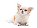 Furry white with red  Chihuahua dog Stock Photography
