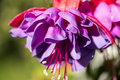 Fuschia close up of flower Stock Image