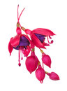 Fuschia flower fuschia hybrida isolated on white background Royalty Free Stock Photos