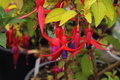 Fuschia flowers close up of in pink and purple Royalty Free Stock Photos