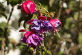 Fuschia flowers several red and purple Royalty Free Stock Images