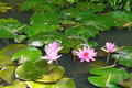 Fuschia water lilies and lilypads in a pond mekong river delta vietnam Royalty Free Stock Image