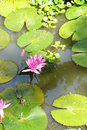 Fuschia water lilies and lilypads in a pond mekong river delta vietnam Royalty Free Stock Images