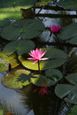Fuschia water lilies and lilypads in a pond mekong river delta vietnam Stock Photo