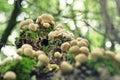 Fuzz balls on a tree trunk Royalty Free Stock Photo