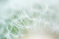 Fuzzy dandelion blurry seed close up background Royalty Free Stock Photos