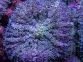 Fuzzy mushroom coral Royalty Free Stock Photo