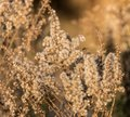 Fuzzy Plants At Sunset In Bloo...