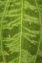 Fuzzy surface green leaf pattern veins as background Royalty Free Stock Photo