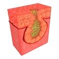 G Multicellular Epithelium Royalty Free Stock Photo