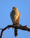 Gabar goshawk perched on branch melierax kalahari desert south africa Royalty Free Stock Image