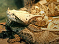 Gaboon Viper 2 Royalty Free Stock Photos