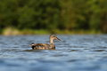 The gadwall anas strepera in natural enviroment Stock Image