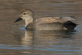 Gadwall Royalty Free Stock Photo