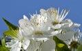 Gage bush flowers macro with blue sky Stock Photo