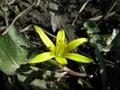 Gagea floret