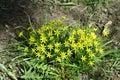 Gagea flowers
