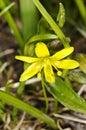 Gagea lutea, yellow star