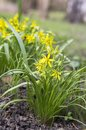 Gagea pratensis spring wild flower, Yellow Star of Bethlehem in bloom