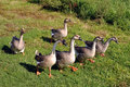 A gaggle of Chinese geese Royalty Free Stock Photography