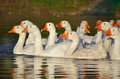 Gaggle of white geese floating in pond Royalty Free Stock Image