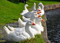 Gaggle of white geese lined up. Royalty Free Stock Photography