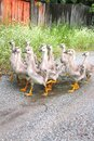 Gaggle of young domestic geese go on the road in a village Royalty Free Stock Images