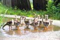 Gaggle of young domestic geese goes on the road in a village Stock Images