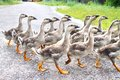 Gaggle of young domestic geese goes on the road in a village Stock Image