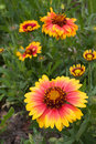Gaillardia Royalty Free Stock Photo