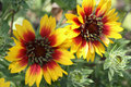 Gaillardia Royalty Free Stock Photography