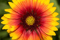 Gaillardia blanket flower a close up macro shot of a Royalty Free Stock Images