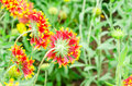 Gaillardia or blanket flowers in the garden colorful chiang mai thailand Stock Photography