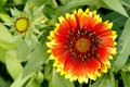 Gaillardia flower Stock Photography