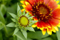 Gaillardia flower Royalty Free Stock Photography
