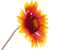 Gaillardia flower Stock Photos