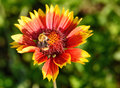 Gaillardia flower with bumble bee in the garden on green background close up Royalty Free Stock Photos