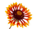 Gaillardia flower on a white background Stock Photos