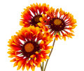 Gaillardia flower on a white background Stock Photography