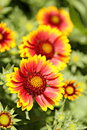 Gaillardia flowerbed with red yellow flowers of Stock Image