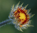 Gaillardia yellow and red wild flower Royalty Free Stock Image
