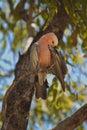 Galah parrot, Australia Stock Images