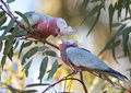 Galah pink feeding young south australia Stock Photos