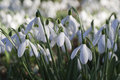 Galanthus nivalis - Snowdrops Stock Images